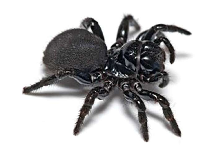 spiders_au_mouse